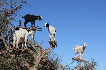 goats-on-trees-in-morocco-5